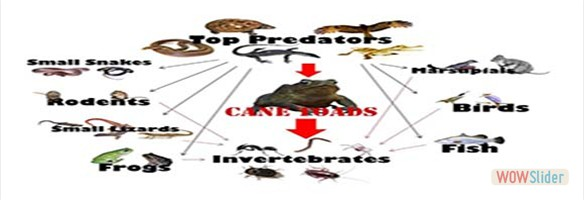 Cane toad impacts on Predator species